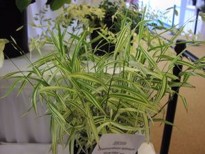 Stunning green and white variegated foliage makes a great specimen    Variegated Northern Sea Oats