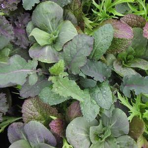 Mesclun 'Mixed greens'