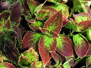 Coleus 'Colorblaze® Dipt in Wine'