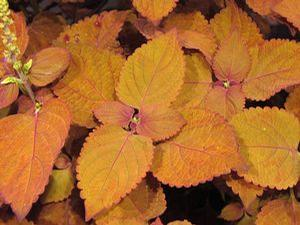 Coleus 'Colorblaze® Sedona Sunset™'