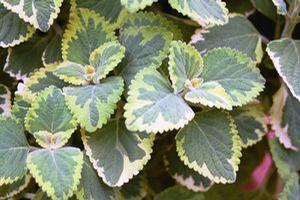Plectranthus 'Lemon Twist'