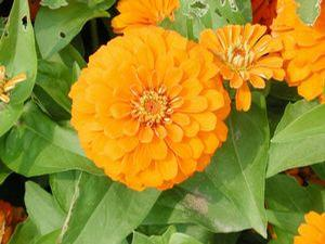 Zinnia elegans 'Magellan Orange'