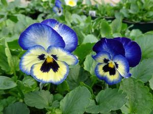 Pansy 'Blueberry Thrill'