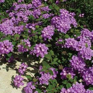 Lantana 'Luscious Grape'