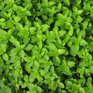 Mint 'Ginger'