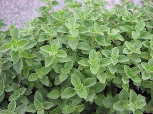 Oregano 'Hot and Spicy'