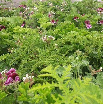 Scented Geranium 'Mix'