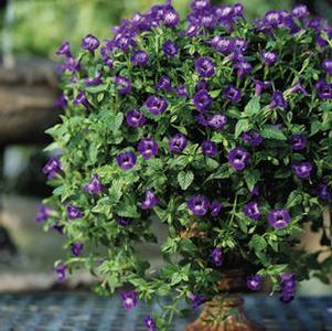 Torenia 'Summer Wave® Large Violet'