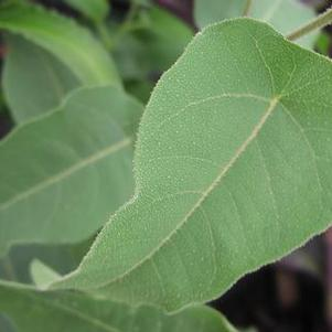 Eucalyptus 'Lemon Bush'