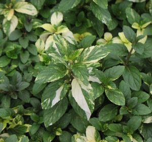 Mint 'Peppermint Variegated'