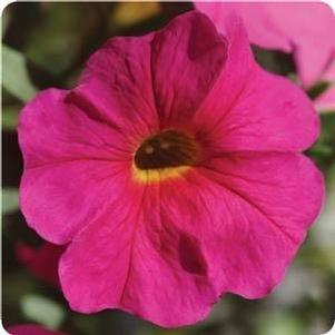 Petunia 'Supercal Neon Rose'