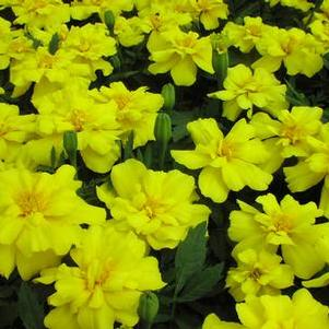 Marigold 'Zenith Lemon Yellow'