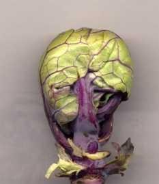 Brussels Sprouts 'Falstaff'
