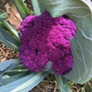 Cauliflower 'Graffiti'