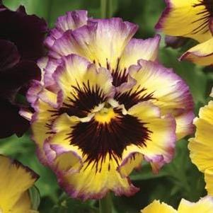 Pansy 'Fizzy Lemonberry'