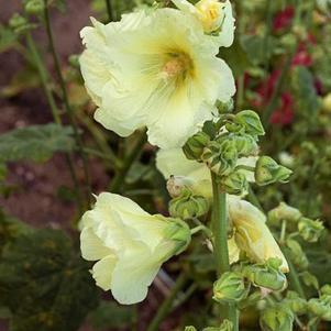 Alcea rosea 'Stoplight Sunshine'