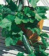 Cucumber bush 'Spacemaster 80'