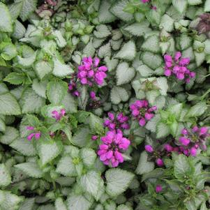 Lamium maculatum 'Purple Dragon'