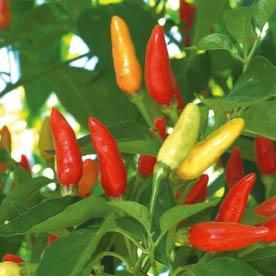 Pepper 'Tabasco'