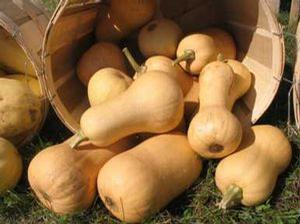 Winter Squash 'Butternut'