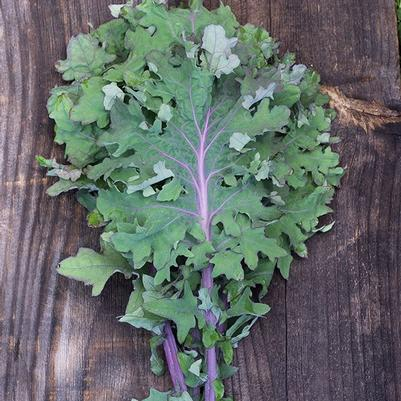 Kale 'Red Ursa'