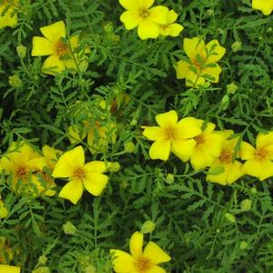 Marigold 'Lemon Gem'