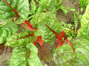Swiss Chard 'Rhubarb Red'