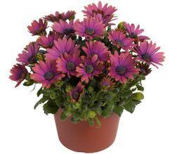 Osteospermum 'Summertime® Blueberry'