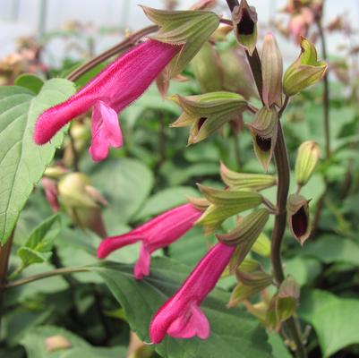 Salvia hybrida 'Wendy's Wish'