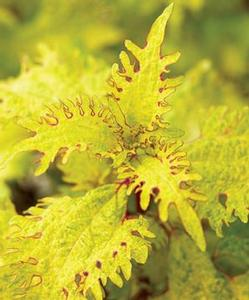 Coleus 'Lemon Twist™'