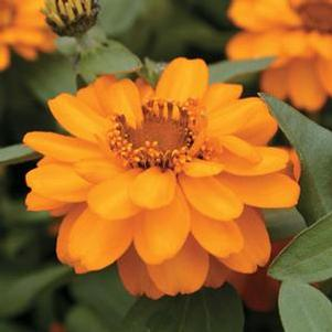 Zinnia 'Profusion Double Gold'
