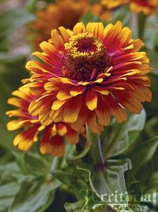 Zinnia 'Zowie Yellow Flame'