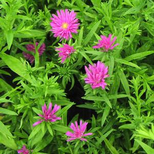 Aster 'Pink Magic'