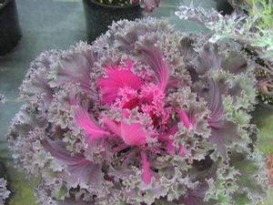 Flowering Kale 'Chidori Red'