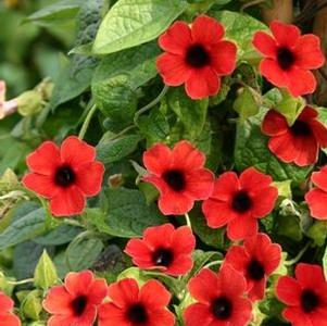Thunbergia alata 'Arizona® Dark Red'