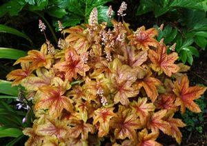 Heucherella 'Brass Lanterns'