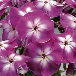 Phlox paniculata 'Peacock Purple Bicolor'