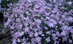 Phlox subulata 'Oakington Blue Eyes'