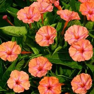 Mirabilis 'Salmon Sunset'