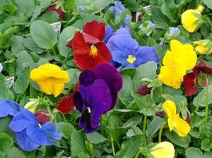 Pansy 'Delta Pure Mix'