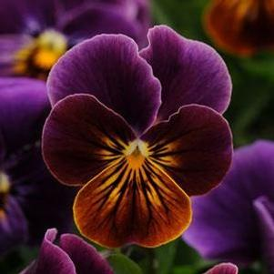Viola 'Sorbet Antique Shades'