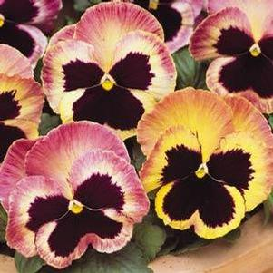 Pansy 'Matrix Sunrise'
