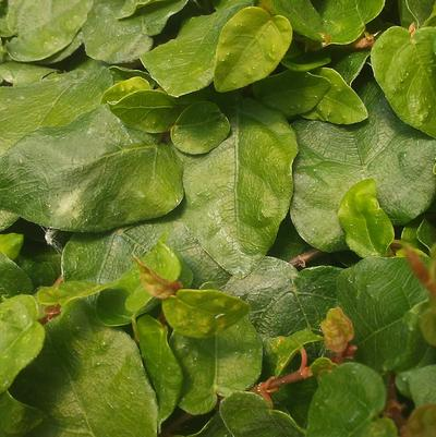 Ficus pumila 'Creeping Fig'