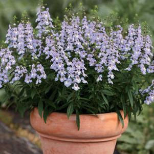 Angelonia 'Sungelonia™ Blue'
