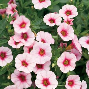 Calibrachoa 'Superbells® Cherry Blossom'
