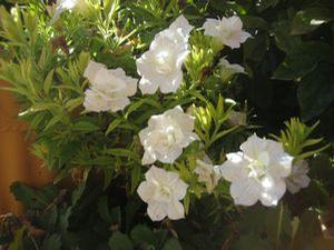 Petunia 'Blanket® Double White'