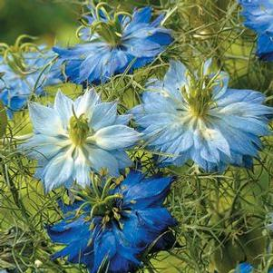 Nigella 'Moody Blues'