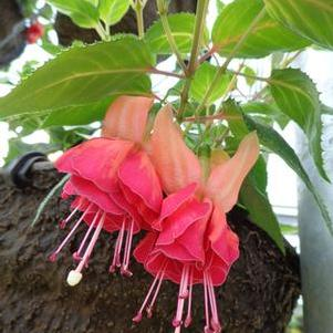 Fuchsia 'Giant Orange King - N/A'