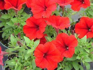 Petunia 'Sweetunia Hot Rod Red'