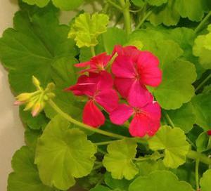 Geranium 'Persian Queen'